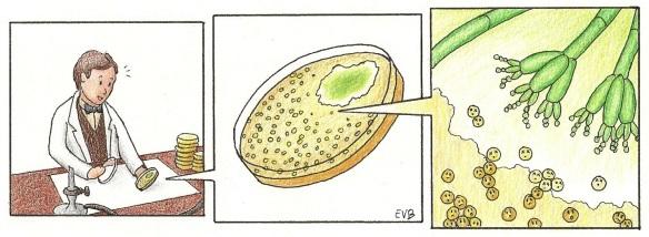Recreación del descubrimiento de la penicilina por Fleming. Las bacterias se pueden cultivar en el laboratorio en placas que contienen un medio de cultivo gelatinoso (es decir, comida para bacterias). Crecen formando colonias (visibles a simple vista) encima de esta especie de gelatina. Las placas tienen que estar tapadas siempre que sea posible, porque si no sucede lo que le pasó a Fleming: se contaminan con las esporas que hay en el aire y crecen hongos dentro (también les gusta la comida para bacterias). Aunque en este caso el hongo fue bienvenido.
